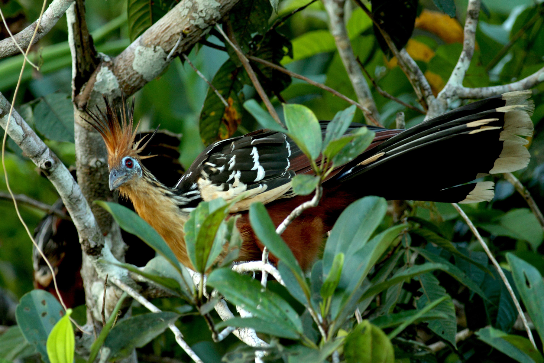 The hoatzin inhabits the moist tropical forests of South America. Photo: Jesper Sonne/CMEC